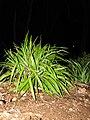 Starr-110422-5196-Dianella sandwicensis-habit at night-Hawea Pl Olinda-Maui (24964716512).jpg