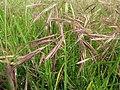 Starr-110628-6354-Bromus diandrus-seedheads-Kula-Maui (24801833610).jpg