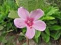 Starr-110722-7154-Urena lobata-flower-Waihee Ridge Trail-Maui (24469869564).jpg