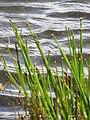 Starr-110929-9872-Eleocharis obtusa-habit in reservoir-Hanaula-Maui (25117475125).jpg