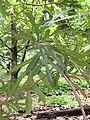 Starr-120606-7004-Artocarpus altilis-leaves-Kahanu Gardens Hana-Maui (24848994380).jpg