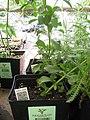 Starr-120613-9645-Stevia rebaudiana-in pots-Walmart Nursery Kahului-Maui (24777537119).jpg