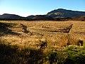 Starr-140630-0957-Plantago lanceolata-habit view flats from cabin-Kapalaoa HNP-Maui (24948369750).jpg