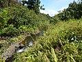 Starr-140909-1721-Hibiscus tiliaceus-habit and stream-Wailua-Maui (24878105849).jpg