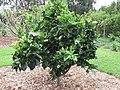 Starr-150217-0328-Citrus sinensis-Washington Navel flowering habit-Hawea Pl Olinda-Maui (24897131179).jpg