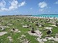 Starr-150328-1862-Coronopus didymus-riprap and Laysan Albatrosses-Northeast Eastern Island-Midway Atoll (24639302284).jpg