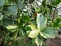 Starr-150811-0607-Clusia rosea-variegated leaves-Enchanting Floral Gardens of Kula-Maui (25202799901).jpg
