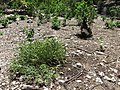 Starr-170624-9848-Setaria verticillata-weedy section with Laysan Albatross chicks-West Beach Sand Island-Midway Atoll (36059468900).jpg