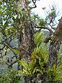 Starr 010908-0034 Ficus cf. platypoda.jpg