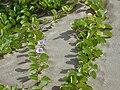 Starr 011104-0022 Ipomoea pes-caprae subsp. brasiliensis.jpg