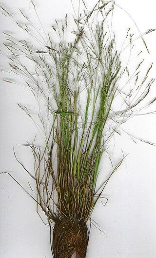 Starr 020508-9002 Agrostis avenacea.jpg