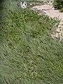 Starr 030905-0118 Ipomoea pes-caprae subsp. brasiliensis.jpg