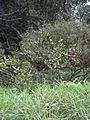 Starr 031002-0030 Psidium cattleianum.jpg