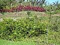 Starr 040209-0037 Senna alata.jpg