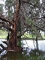 Starr 040323-0030 Casuarina equisetifolia.jpg