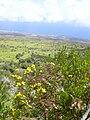 Starr 040731-0069 Bidens micrantha subsp. kalealaha.jpg