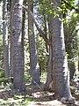 Starr 040812-0069 Araucaria columnaris.jpg