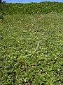 Starr 050222-0054 Jacquemontia ovalifolia subsp. sandwicensis.jpg