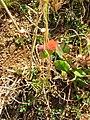 Starr 050419-6486 Emilia fosbergii.jpg