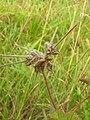 Starr 050816-3654 Pelargonium capitatum.jpg