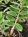 Starr 080117-1717 Zamioculcas zamiifolia.jpg
