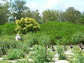 Starr 080608-9443 Ficus microcarpa.jpg