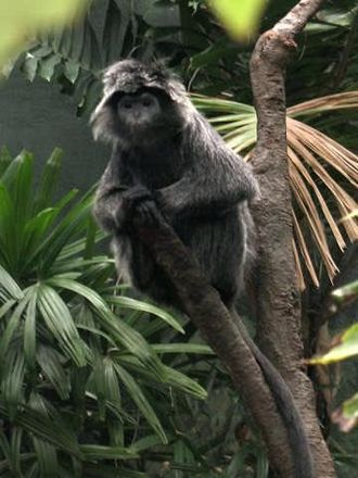 Nusa Kambangan - Javan lutung, one of the primates found in Nusakambangan