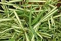 Stenotaphrum secundatum variegatum 0zz.jpg