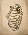 Sternum and right side of rib cage, seen from behind. Waterc Wellcome V0007969.jpg