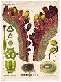 Stigma and Pollen Tubes of Lilium martagon (8232498886).jpg