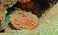 Stonefish (Synanceia verrucosa) (6083207466).jpg