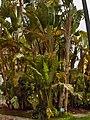 Strelitzia alba003.jpg