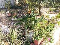 Strelitzia reginae from Kedumim 117.jpg
