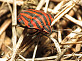 Striped Shield Bug (15954476916).jpg