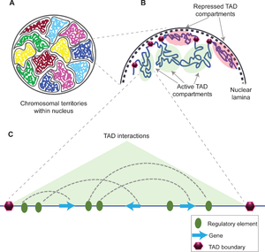 Topologically associating domain - Topologically associating domains within chromosome territories, their borders and interactions