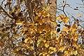 Strychnos nux-vomica in Kinnarsani WS, AP W IMG 6021.jpg