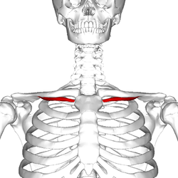 Subclavius muscle frontal2.png