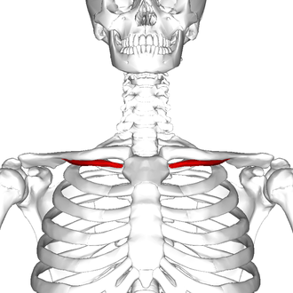 Subclavius muscle - Subclavius muscle (shown in red).