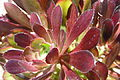 Succulente Adelaide.jpg