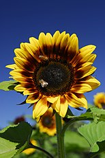 "Sunflower ""Pro Cut Bicolor"" (1341460980).jpg"