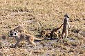 Suricatos (Suricata suricatta), parque nacional Makgadikgadi Pans, Botsuana, 2018-07-30, DD 36.jpg