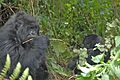Susa group, mountain gorillas - Flickr - Dave Proffer (27).jpg