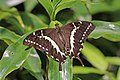 Swallowtail (Papilio mangoura) female.jpg