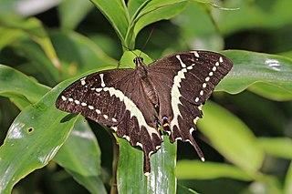 Sưu tập Bộ cánh vẩy 2 - Page 66 320px-Swallowtail_%28Papilio_mangoura%29_female