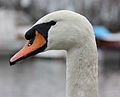 Swan portrait2.jpg