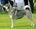 Swedish Elkhound.jpg