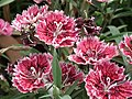 Sweet William from Lalbagh flower show Aug 2013 8211.JPG
