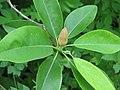 Sweetbay Magnolia Magnolia virginiana Unopened Closeup 2059px.jpg
