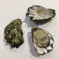 Sydney rock oyster on half shell with two empty shells.jpg