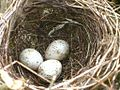Sylvia curruca eggs - 20090617.jpg